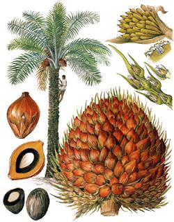 Dendê - Elaecis guineensis