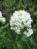 (Valeriana officinalis, Valerianaceae 2011/76