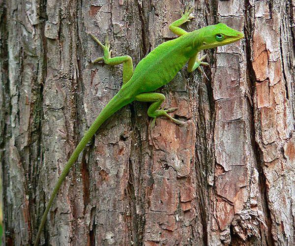 Ящерица на дереве