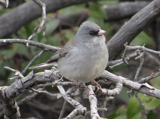 Dark-eyed Junco, Gray-headed Junco