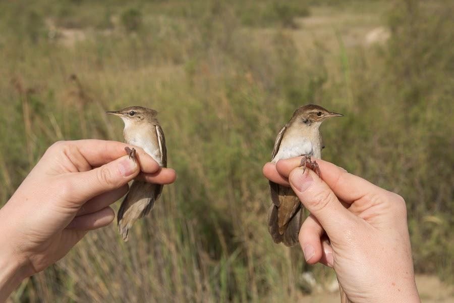 Savi's Warblers
