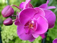 Magnífica Orquídea de Piracicaba.