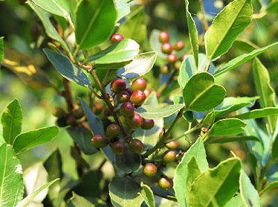 Hojas y fruto del Aladierno (Rhamnus alaternus)
