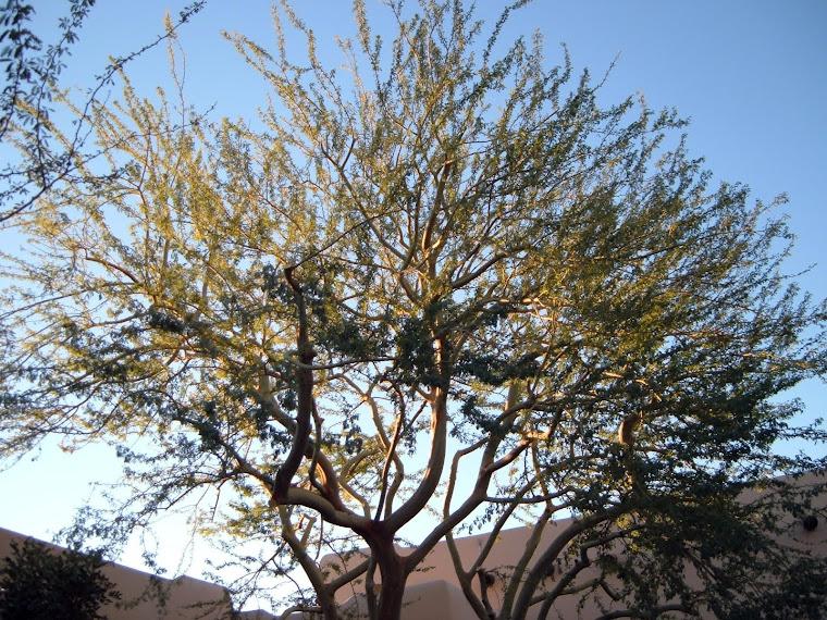 Sonoran Palo Verde