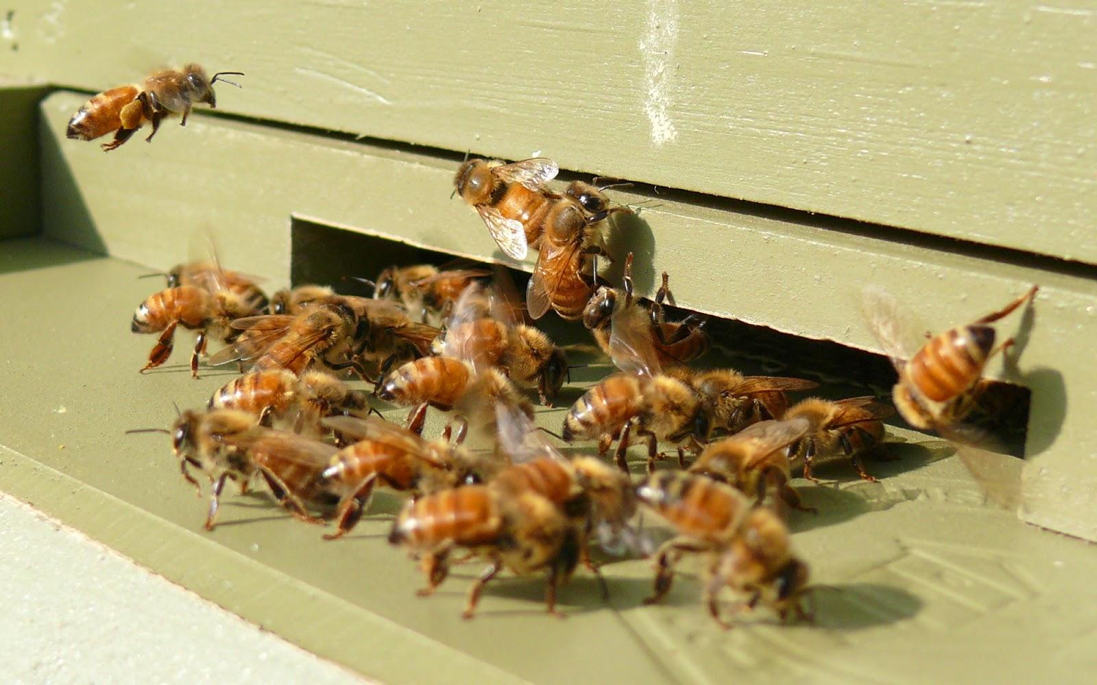 Bal arısı, Arıcılık, Arılarda üreme,