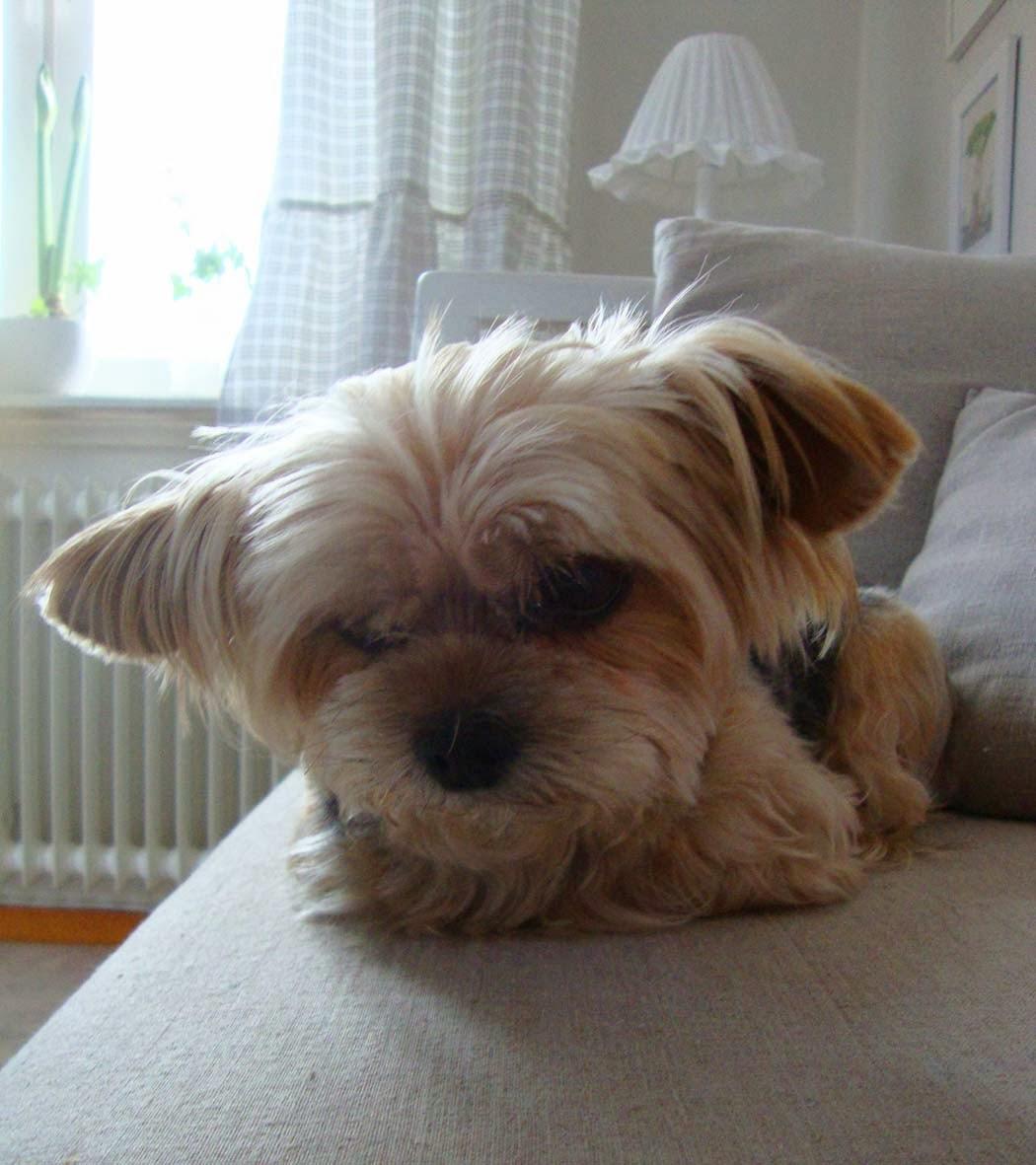 Nisse, min änglahund