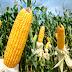 Cientistas desenvolvem plantas resistentes às mudanças climáticas