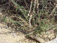 лекарственное растение верблюжья колючка