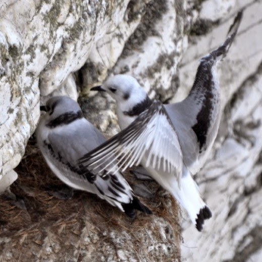 kittiwake chick stretching wings