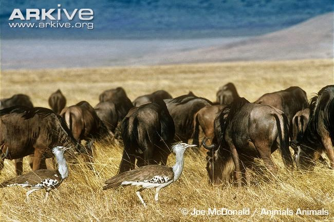 interractions between african wildlife kori bustard