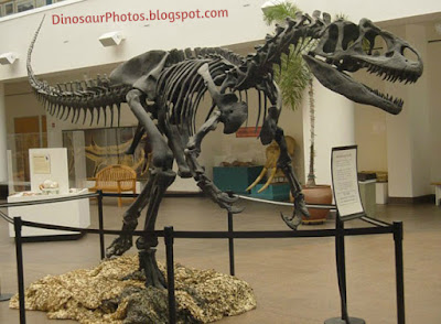 Dinosaur Allosaurus Skeleton Photo