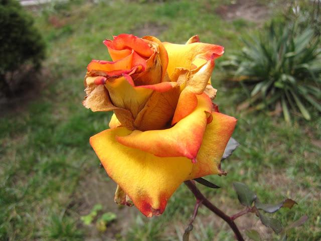 rose роза