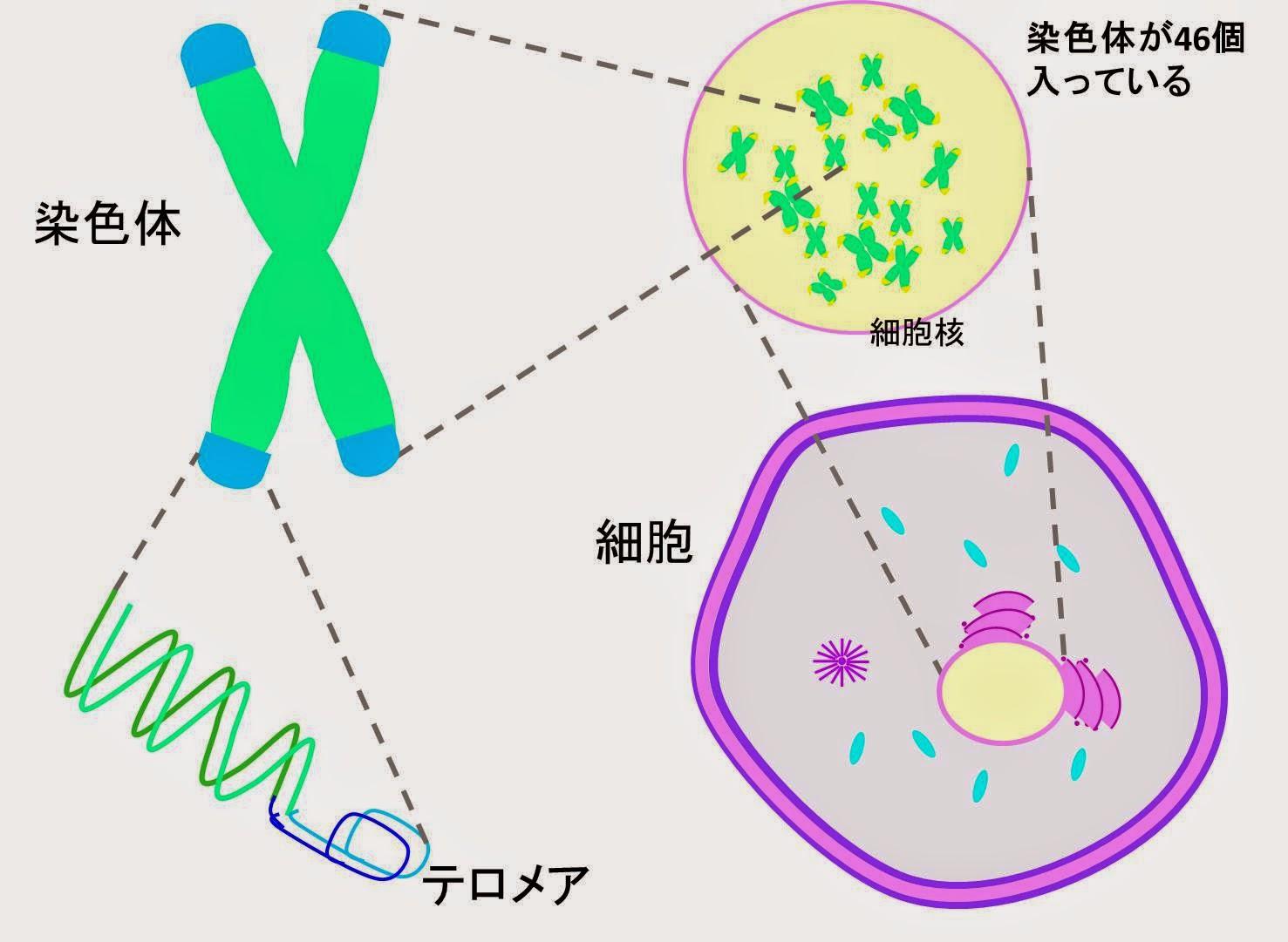 テロメア、老化、アンチエイジング、細胞核、糖質制限、テロメラーゼ、砂糖、リスク、細胞分裂、細胞老化