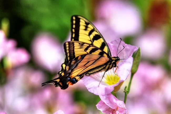 metamorfosis kupu kupu yang indah di alam bebas as salaam