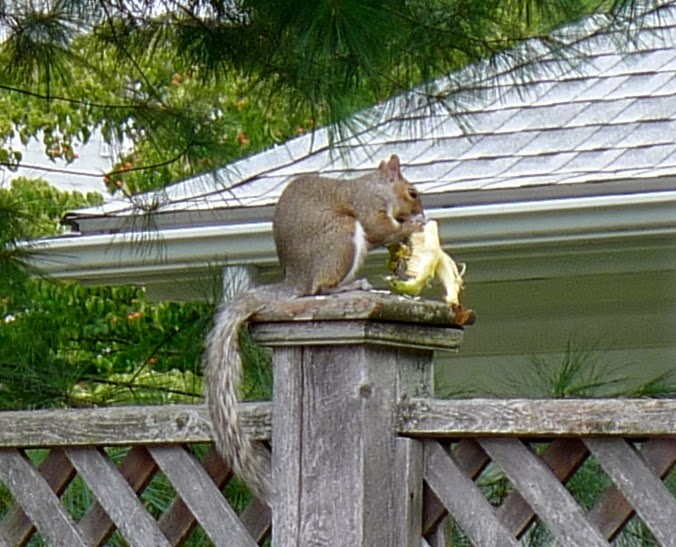 Squirrel eating sunflower