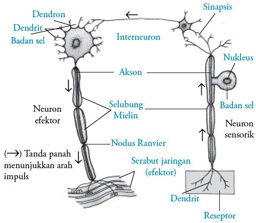 Sel saraf neuron pada manusia gambar 6 hubungan antara neuron sensorik neuron motorik dan interneuron ccuart Choice Image