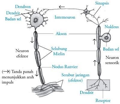 Hubungan antara neuron sensorik, neuron motorik, dan interneuron