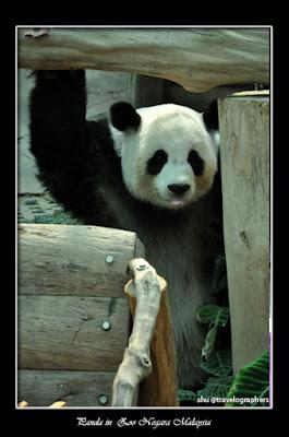panda, giant panda, giant panda conservation center, giant panda forest, panda river safari singapore zoo, panda zoo negara malaysia, panda chiangmai zoo thailand, panda wwf