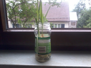 How to Replant Lemongrass