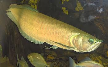 Akvaryum gümüş aravan balığı hakkında bilgi