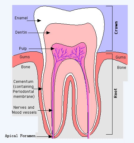 General Dental Knowledge For Everyone Anatomy Of The Tooth