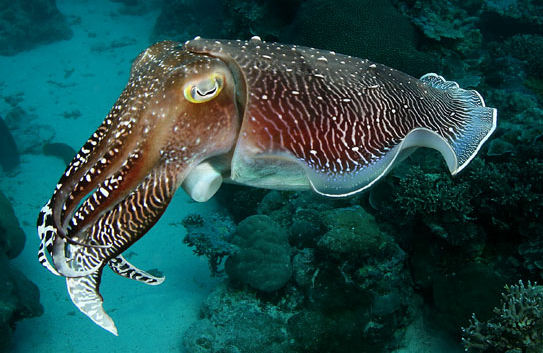 Indigo Roth cuttlefish