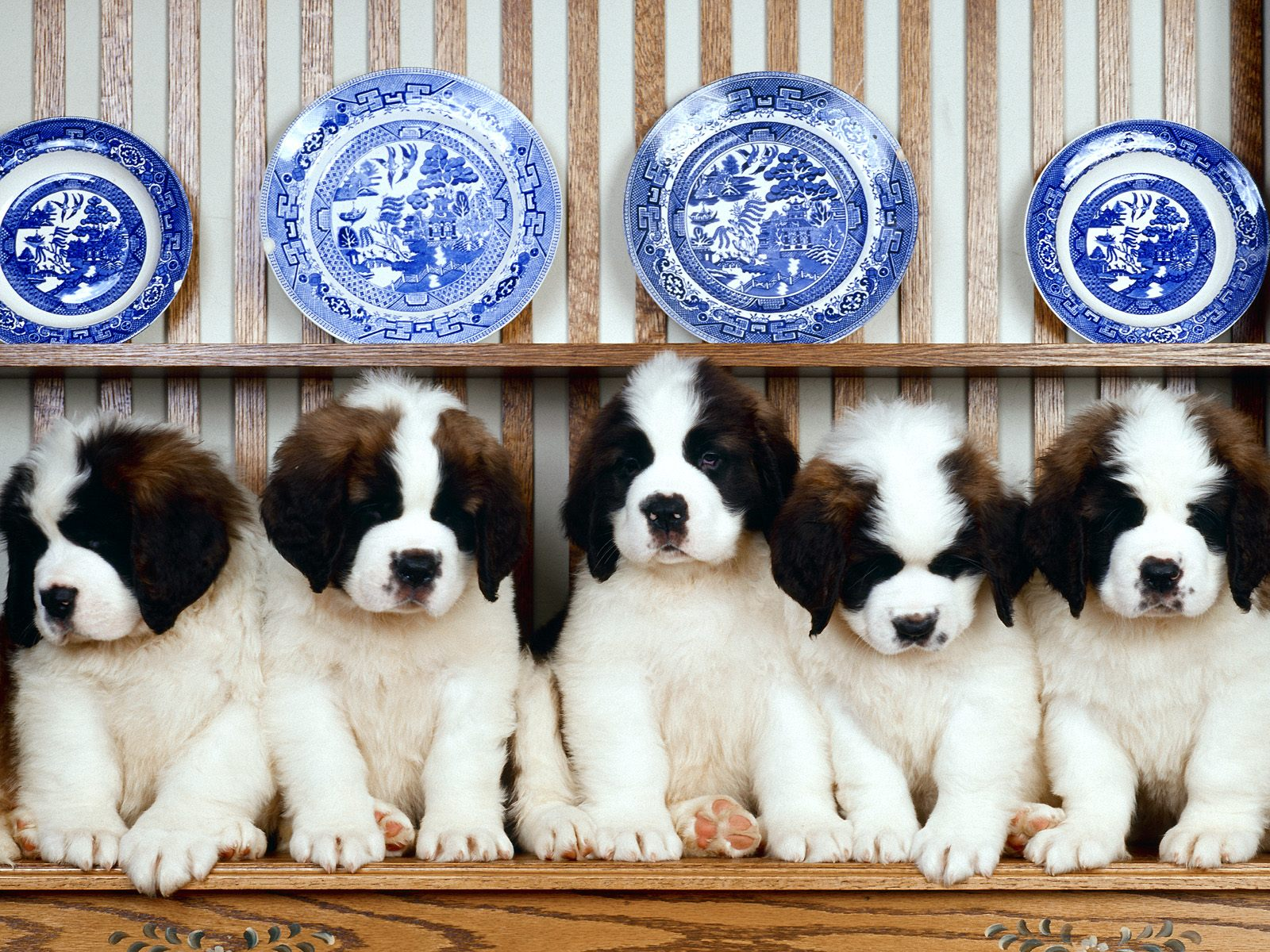 St-Bernard-Puppies-cucciolo+and+his+frie