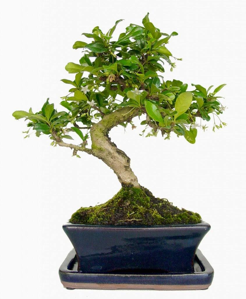 Plantas y flores plantas especies plantas interiores - Plantas para bonsai ...