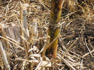 Fertilize bamboo with organic worm castings fertilizer