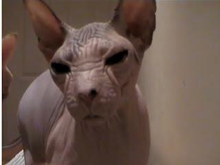 gambar kucing kohana