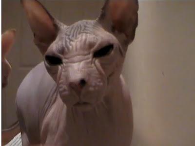Mengenal Kucing Kohana