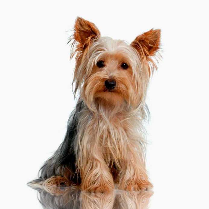 Yorkshire Terrier | Ve...