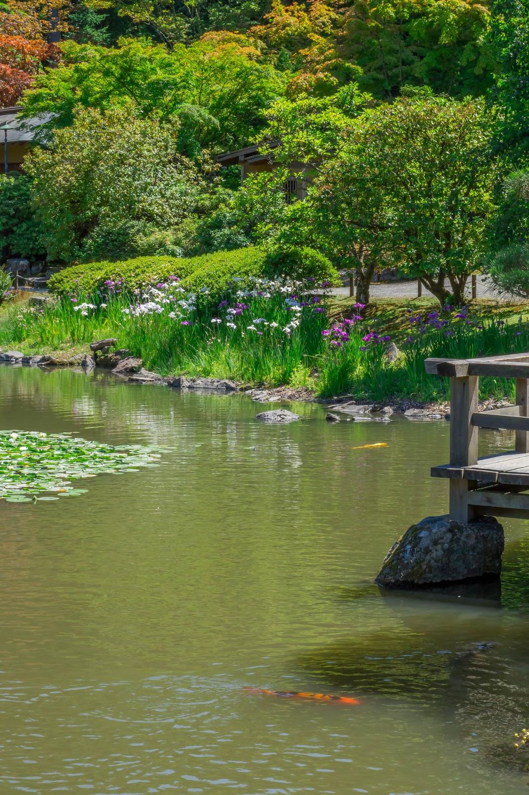 В декоративном пруду плавают разноцветные карпы кои - частое украшение японских и не только садов во всём мире.