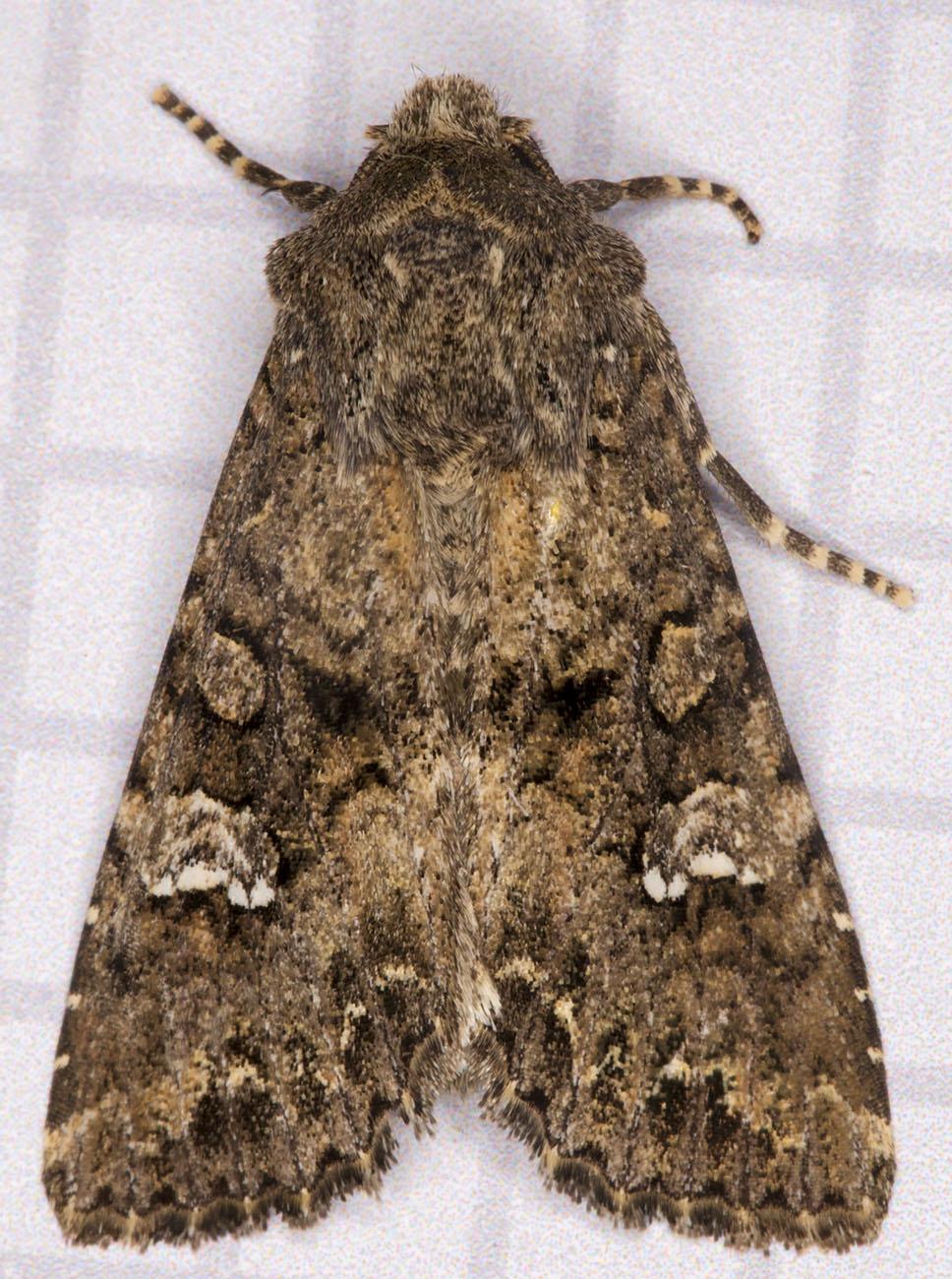 Cabbage Moth, Mamestra brassicae.  Noctuidae.  Hayes, 22 June 2014.