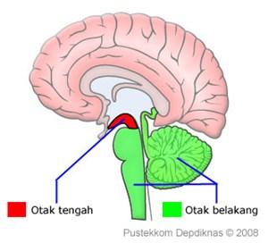 Bagian-Bagian Otak
