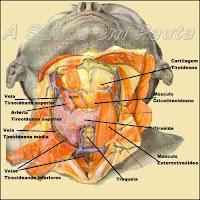 A glândula tireóide se localiza logo abaixo da laringe e anteriormente à traquéia, tendo a forma parecida com um H