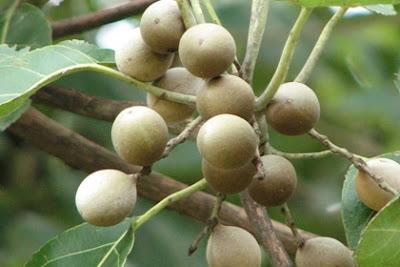 สมอพิเภก (Terminalia Bellirica) @ www.googlecode.com