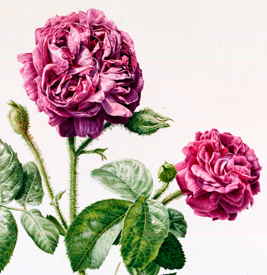 Rosa species by Rory McEwen
