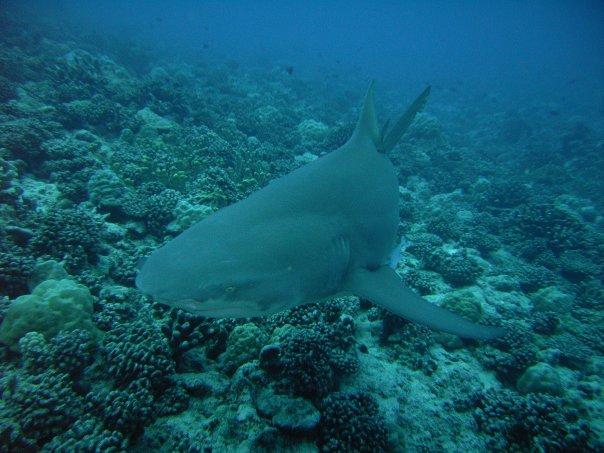 Lemon Shark in Bora Bora