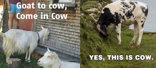 goat-to-cow-come-in-cow-yes-this-is-cow.