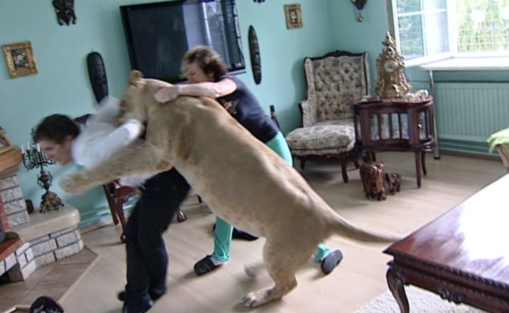 Lion attacks videos