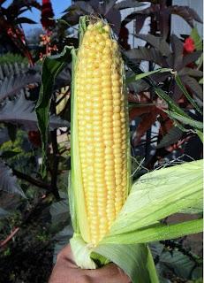 7 августа, первый початок кукурузы Тройная Сладость