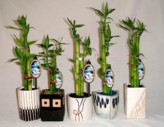 Bamboo creations victoria lucky bamboo xmas present