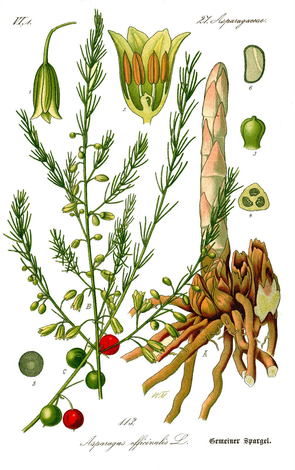 El camino a samarcanda asparagus officinalis for Radici commestibili