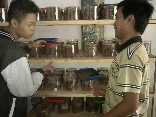Bisnis Budidaya Semut Rang-Rang Kroto Yang Menguntungkan dengan Omzet Jutaan