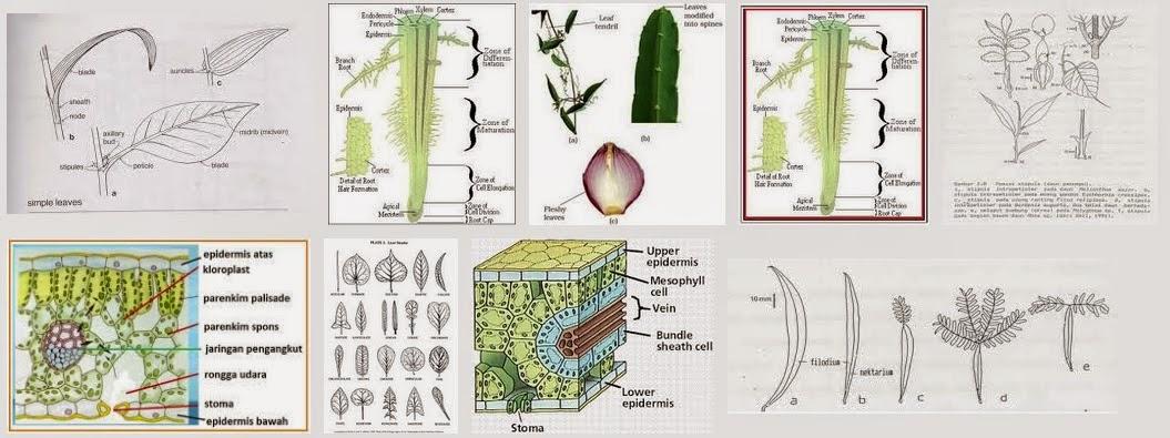 Modifikasi daun tumbuhan dan fungsinya dunia tumbuhan pada umumnya daun tumbuhan dikotil maupun monokotil memiliki bentuk dan ukuran yang sangat beragam pada beberapa tumbuhan keragaman tersebut semakin ccuart Image collections
