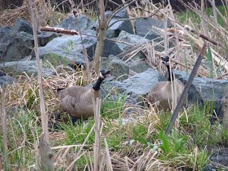 geese honking