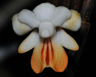 Orchid of Borneo