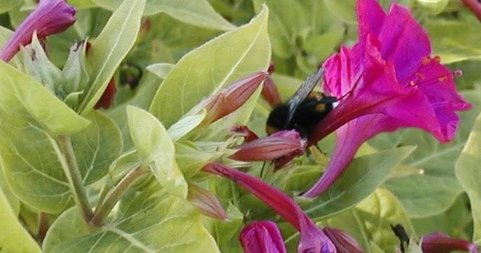 Belle de nuit flore de l le de la r union for Entretien jardin reunion