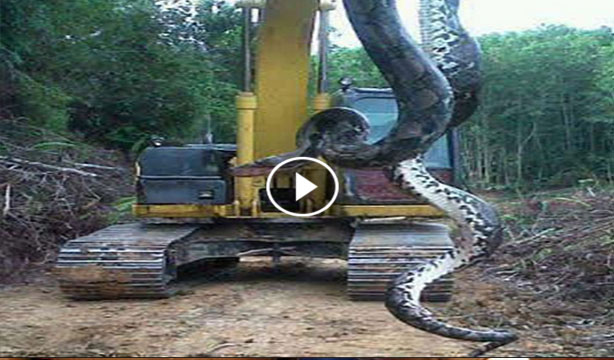 largest snake ever caught - photo #35